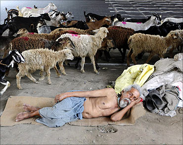 A homeless man sleeps under a flyover as a herd of goats and sheep pass him.