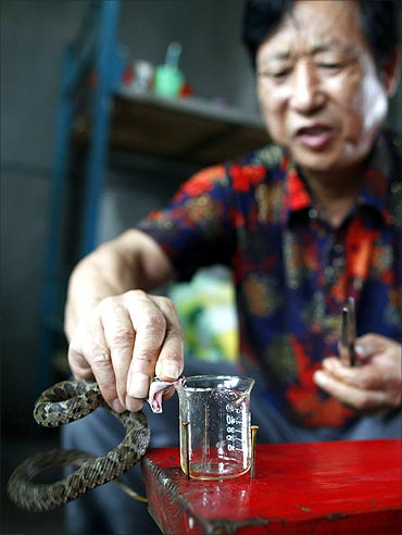 Yang Hongchang, boss of the snake rearing company extracts venom from a snake.