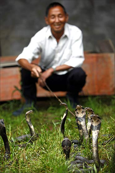 A resident squats next to cobras at a snake farm in Zisiqiao village.