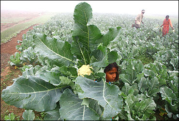 A farmer and his family work in their cauliflower field.