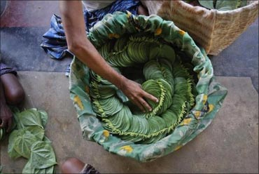 A farmer arranges betel leaves in a basket.