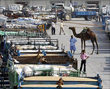 A herdsman with his camel stands near parked tractor trolleys loaded with wheat.