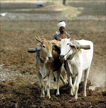 Farmers plough the seeds into a farm land in Dasgaon village.