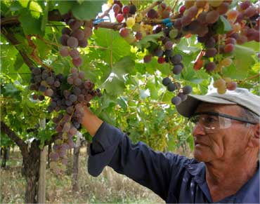 A man looks at grapes ready to be harvested at the Casa Bianchi vineyard in San Rafael, Argentina.