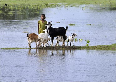 A flood-affected girl stands with goats on the banks of Kosi river.