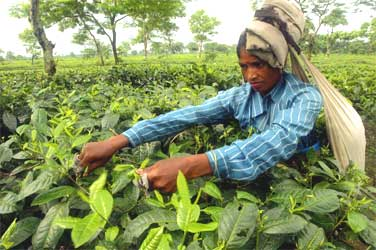 A tea picker at a tea estate at Naxalbari, West Bengal.