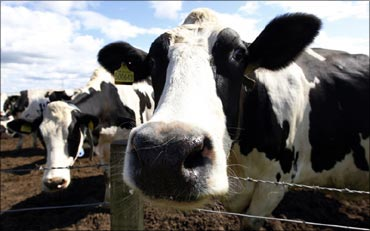 China to produce 'human milk' from GM cows!