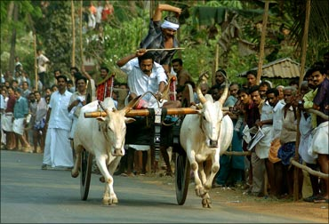 Indian farmers ride their oxen during a cattle race to mark an agricultural festival near Kochi.