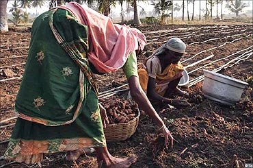 Workers harvesting turmeric.