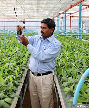 An agronomist examining banana tissue culture plant in Jain Green House.