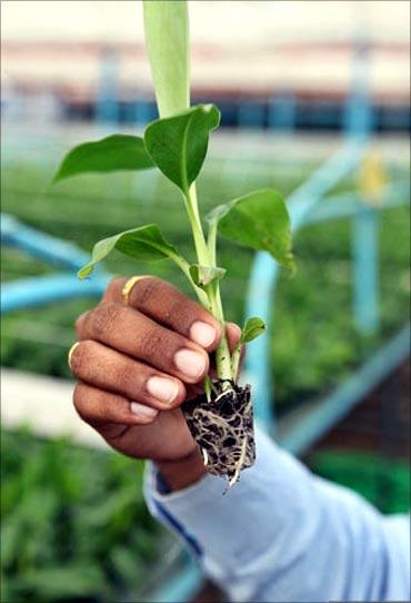 Banana tissue culture plant.