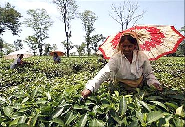 Women picking tea.