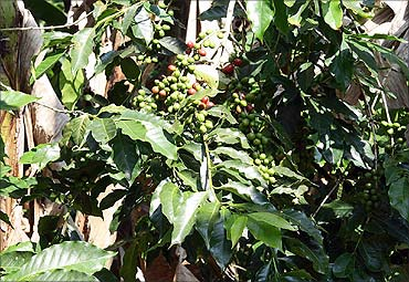 Coffee growers in Orissa want subsidy.