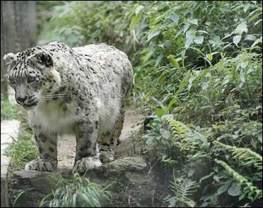 A snow leopard in Arunachal Pradesh.