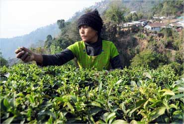 A women plucks first flush Darjeeling at the Happy Valley tea estate.
