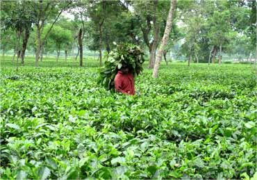 A worker carries tree leaves for his cattle inside a teagarden.