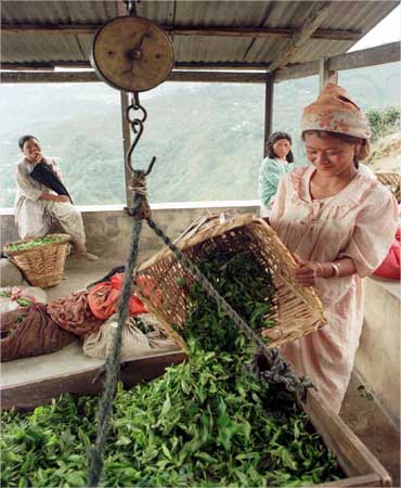 A woman weighs freshly plucked tea leaves at a garden in Darjeeling.