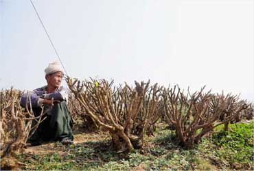 A worker sits by pruned tea bushes.