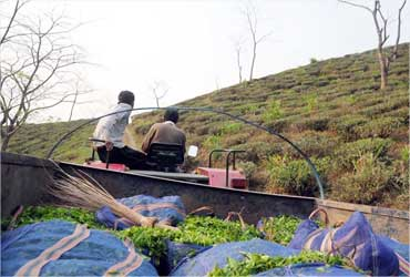 First flush Darjeeling tea is trucked to the factory.