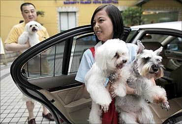 An assistant carries dogs to their owner's car following their weekly grooming at a pet salon.