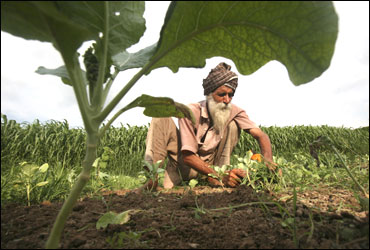 A farmer works in a cabbage field at Mananna village in Punjab.