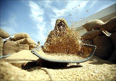 A labourer winnows rice at a market yard at Bavla.