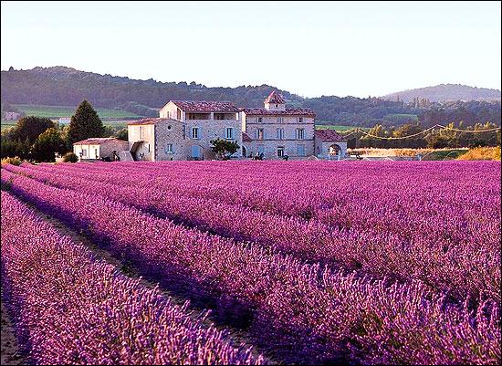 Mediterranean vegetation (lavender) in Provence.