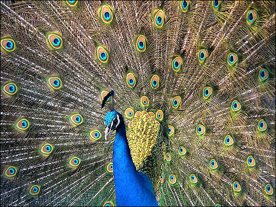 Peacock is the national bird of India.