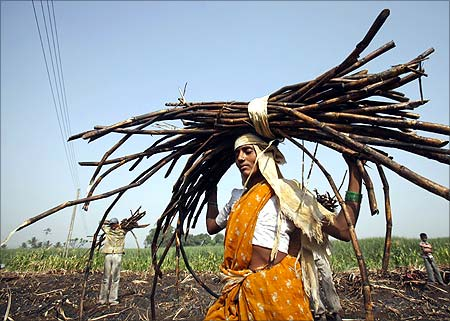 A woman carries a bundle of cut sugarcane on her head as farmers harvest a field outside Gove village in Satara district.