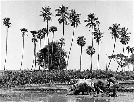 Circa 1955: A farmer guides two oxen ploughing a paddy field in central India.