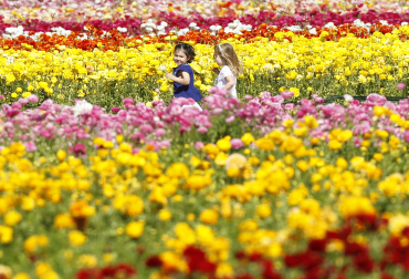 Girls run through a field of giant tecolote ranunculus flowers in Carlsbad, California.