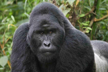 A Mountain Gorilla.