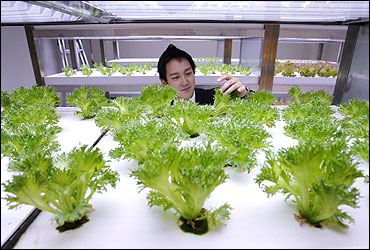 An employee inspects vegetables grown under Hybrid Electrode Fluroescent Lamps (HEFL) inside an office of Pasona Group.
