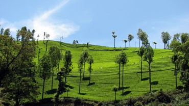 Silas Tea Estate, Ooty