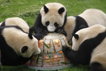 Giant pandas enjoy a cake made from ice and fruits at Shanghai Wild Animal Park in Shanghai.