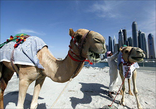 Camels chew on hay as buildings are seen in the background near the Dubai Marina in Dubai.