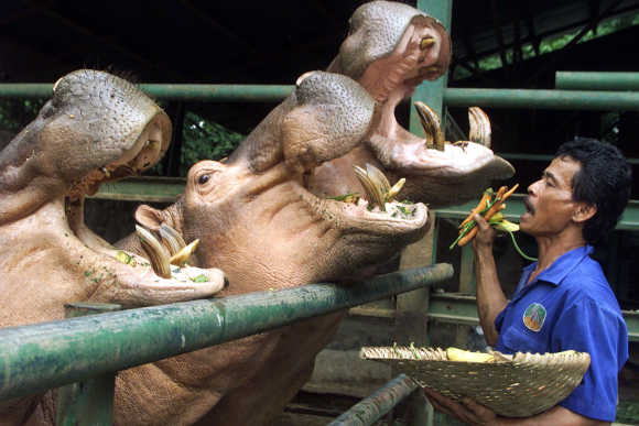 An Indonesian zoo worker feeds three hippos at Ragunan Zoo in Jakarta.