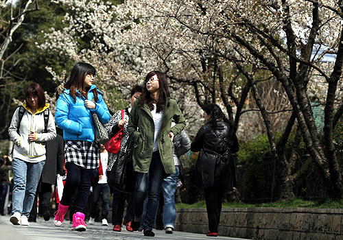 Local residents walk pass blossoming cherry trees at Jing An Park in downtown Shanghai.