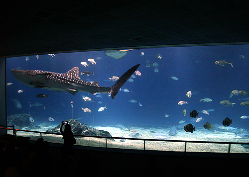 A tourist takes a picture of a whale shark at the National Museum of Marine Biology and Aquarium in Checheng Township, in Pingtung.