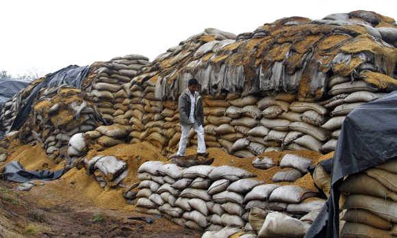 A watchman walks on rotten sacks of a paddy crop at Rano village in Punjab.