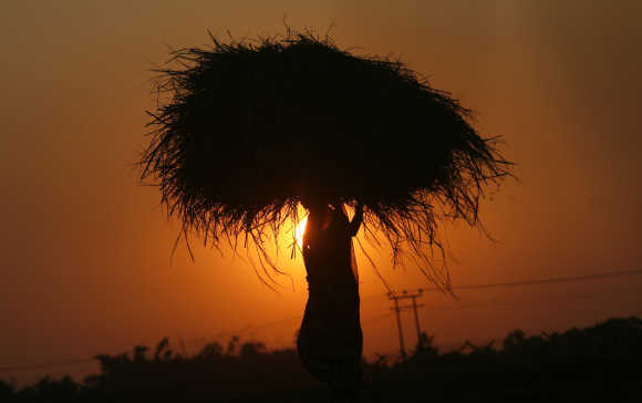 A woman farmer carrying paddy crop is silhouetted against the setting sun on the outskirts of Agartala, Tripura.