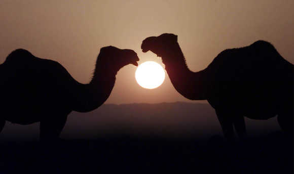 Camels rest near Quetta.