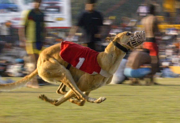 A dog participates in a dog race on the outskirts of Ludhiana.