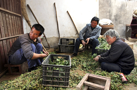 Zhang Junfeng (L), Zhang Shuxiang's older brother, picks vegetables with his relatives at their home in Zhengzhou, Henan province.