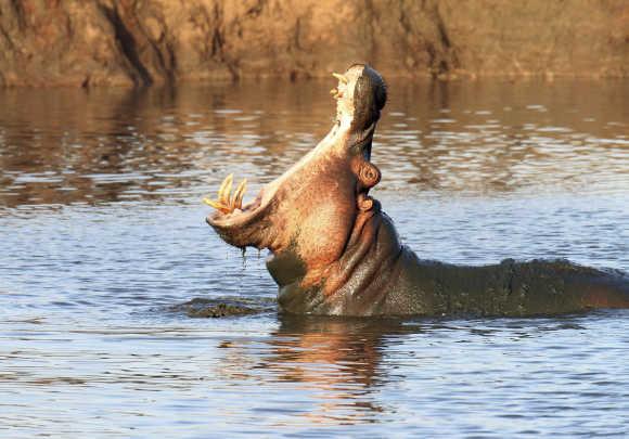 A hippopotamus yawns at sunset in Kenya's Tsavo West National Park, 280km east of Kenya's capital Nairobi.