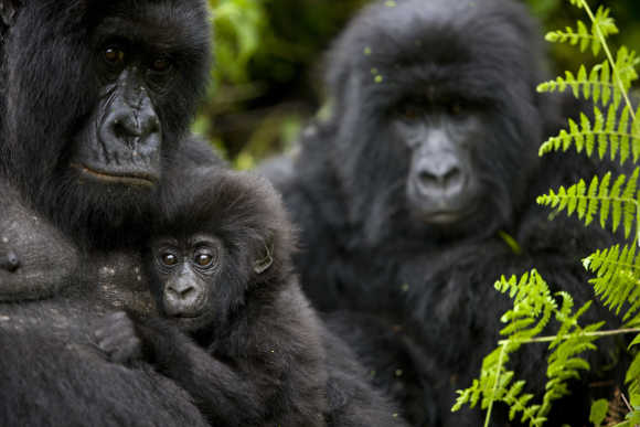 The first sighting of Mountain Gorilla babies in Bukima, Congo.
