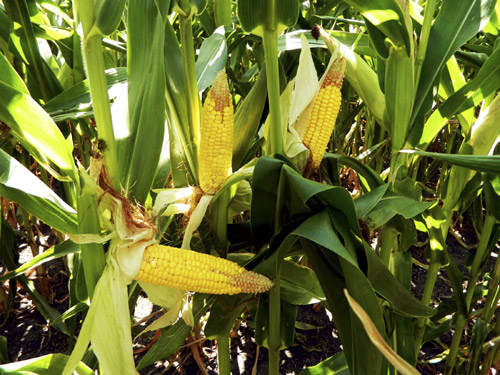 Cobs of drought-damaged corn are pictured near Kewanee, Illinois.