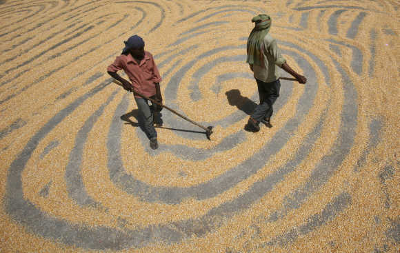 Workers spread maize crop for drying at a wholesale grain market in Chandigarh.