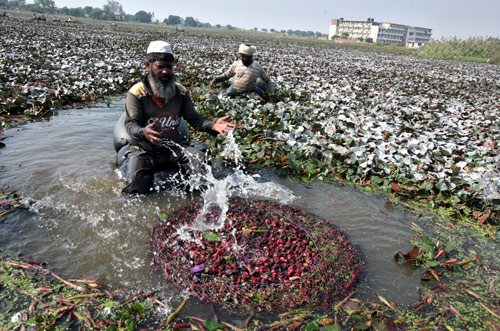 A labourer waters water chestnuts after he collected them from a pond in Motte Majra village in Punjab.