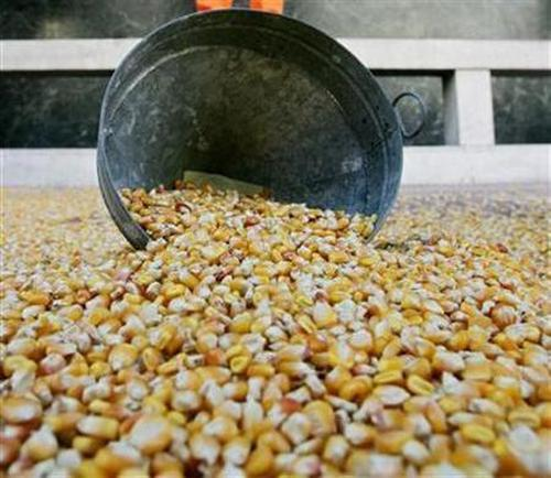 Genetically modified maize seeds made by US biotech giant Mosanto